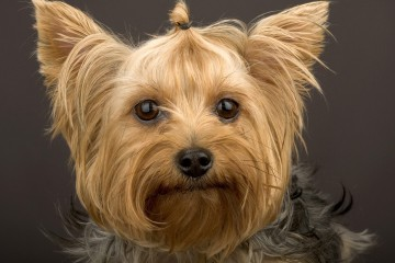 dogs-yorkshire-terrier-dog-freein-pet-category-dog